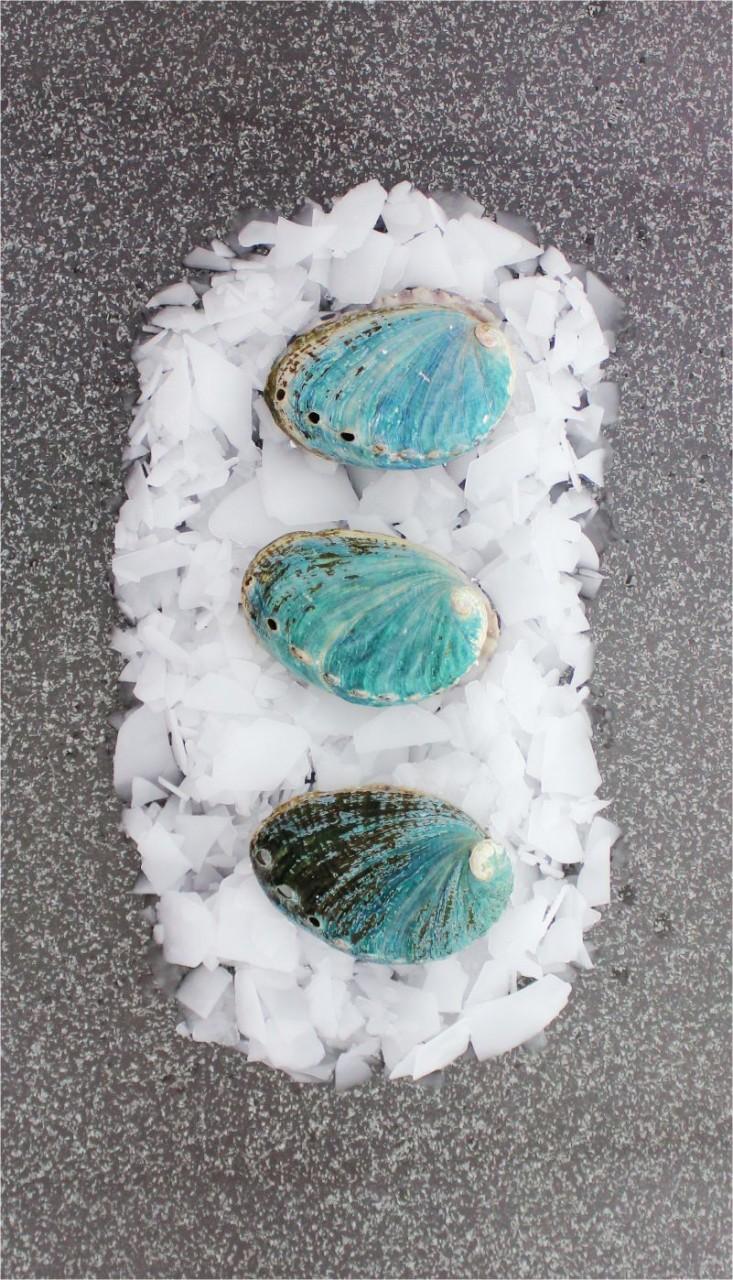Abalone Seeohr - Nr. 2 (1 Stück)